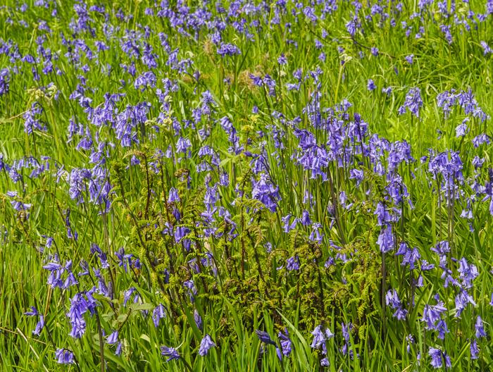 Bluebells in Devon, photograph by Robert Hesketh